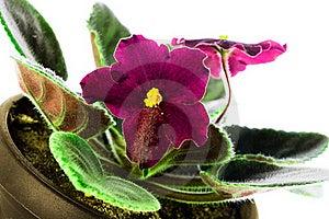 Saintpaulia Close-up  Petals Light Violet Colors Stock Photos - Image: 22497143