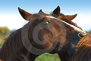 Horse Play Royalty Free Stock Images - Image: 2255619