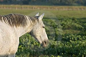 Grey Horse—Flea-bite Markings Royalty Free Stock Photography - Image: 2255707