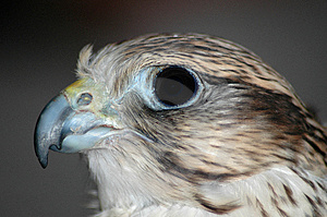 Falcon Head 2 Royalty Free Stock Image - Image: 2256536
