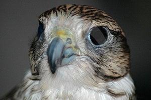 Falcon Head Royalty Free Stock Photography - Image: 2256537