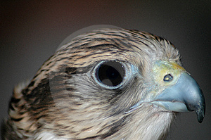 Falcon Head Royalty Free Stock Images - Image: 2256539