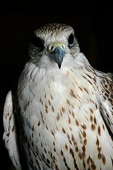 Falcon Head Stock Photos - Image: 2256553