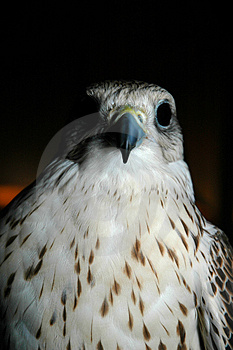 Falcon Head Stock Images - Image: 2256554
