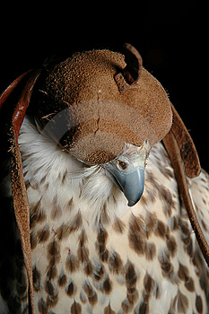 Falcon Head Stock Photo - Image: 2256560