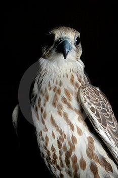 Falcon Head Stock Photography - Image: 2256562