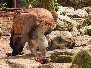 Vulture Eating Royalty Free Stock Photos - Image: 2259248