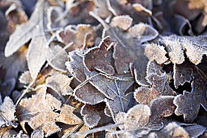 Frost Covered Oak Leaves Royalty Free Stock Photography - Image: 22510667
