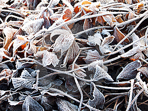 The Anemone Leaves Covered With A Frost Royalty Free Stock Photo - Image: 22511125