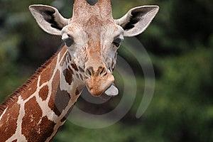 Giraffe Head With Visible Tongue Royalty Free Stock Photography - Image: 22512237