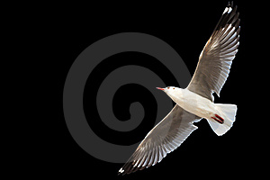 Flying Seagull Isolated On Black Stock Photos - Image: 22538483
