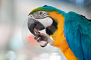 Macaw Eating Fruit Stock Photos - Image: 22538533