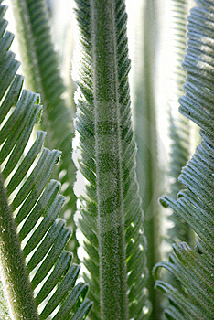 New Cycad Leaves Unfurling Stock Photography - Image: 22541192