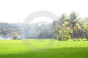 Lush Green Paddy Field Stock Photo - Image: 22545950