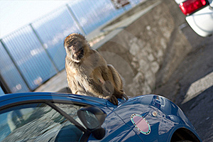 Macaco Of Gibraltar Royalty Free Stock Photo - Image: 22548885
