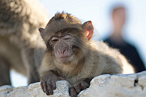 The Barbary Macaque Royalty Free Stock Photography - Image: 22562137
