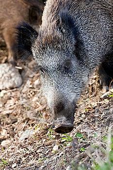 Wild Boar Royalty Free Stock Photos - Image: 22573678