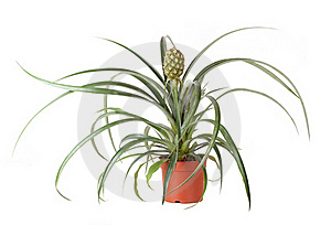 Pineapple Plant Stock Images - Image: 22574884