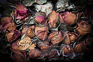 Dry Rose Stock Images - Image: 22592564