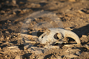 Animal Skull Royalty Free Stock Photo - Image: 22593425