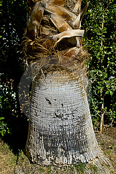 Palm Tree Trunk Royalty Free Stock Images - Image: 22596809