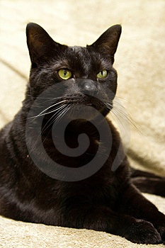 Black Cat, Evil Like Look Royalty Free Stock Photography - Image: 2260987