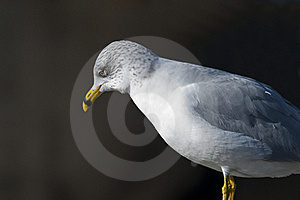 Seagull Stock Images - Image: 22614304