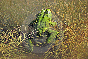Green Frog Stock Photo - Image: 22615490