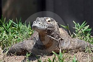 Komodo Dragon Stock Images - Image: 22618264
