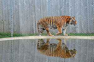 Tiger Reflection Stock Photos - Image: 22623513
