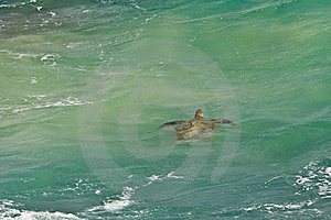 Sea Turtle In Green Tropical Water Royalty Free Stock Photography - Image: 22633187