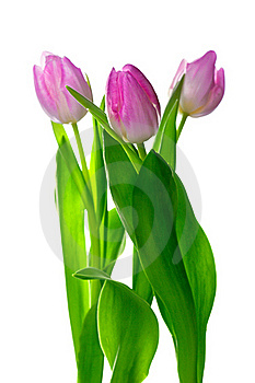 Three Beautiful Pink Tulips On White Royalty Free Stock Photos - Image: 22650878