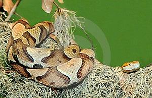 Copperhead Snake Coiled On Tree Limb Stock Photo - Image: 22670160