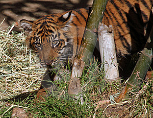 Baby Tiger Stock Images - Image: 22682614