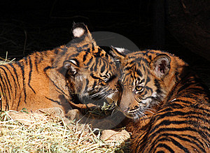 Tiger Cubs Stock Image - Image: 22682771