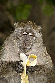 Monkey Eating Banana Royalty Free Stock Image - Image: 22684196