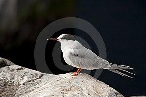 Tern Stock Image - Image: 22686881