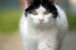 Walking Cat Stock Photos - Image: 2270283