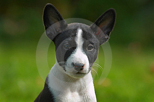 Litle puppy basenji Stock Photos