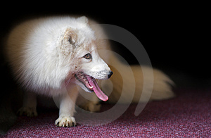 Hot Arctic Fox On Red Carpet Royalty Free Stock Photography - Image: 2277377