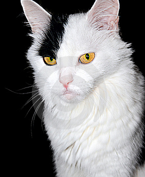 Portrait Of A White Cat On A Black Background... Stock Photos - Image: 22705933