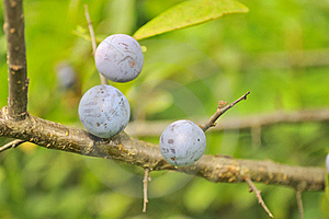 Blueberries Growing On Shrub Royalty Free Stock Image - Image: 22718846