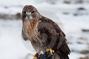 Hawk Stock Images - Image: 22726014