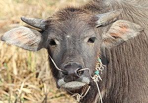 Small Buffalo Stock Photos - Image: 22729933