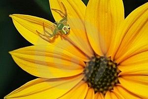 Spider On Flower Genus Misumena Stock Image - Image: 22730741