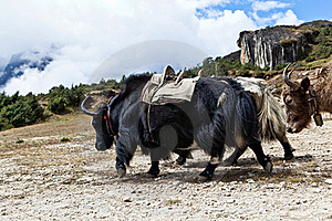 Yak Farm In Himalayas, Nepal Stock Images - Image: 22744764