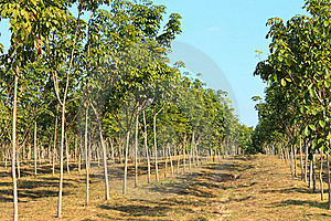 Rubber Plantation Royalty Free Stock Photos - Image: 22751298