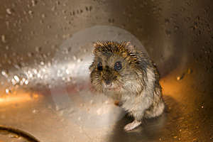 Wet Hamster Royalty Free Stock Image - Image: 22755956