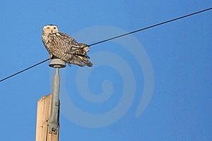 Snowy Owl Stock Photos - Image: 22759793