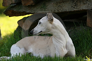 Whippet Royalty Free Stock Photos - Image: 2281728